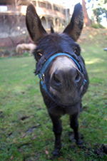 Trouble, the miniature donkey