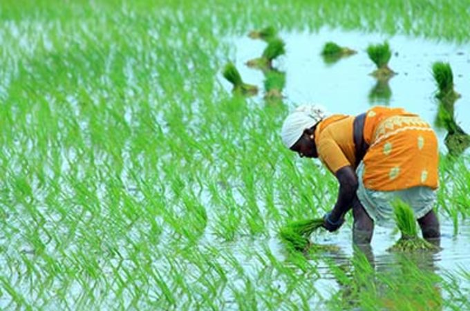 Woman picking rice