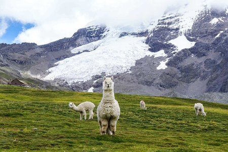 Peruvian alpacas graving land once occupied by the retreating glaciers of Nevado Ausangate
