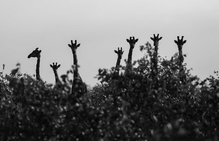 A family of giraffes peaks curiously over the tops of the trees at a safari vehicle in South Africa's Kruger National Park.