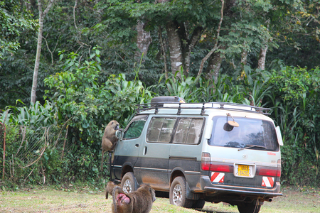 Olive baboons and vehicle