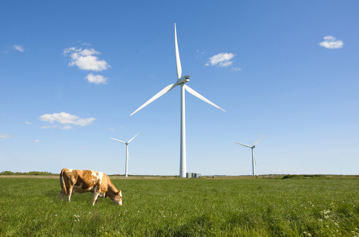 Cow in a field under a wind farm