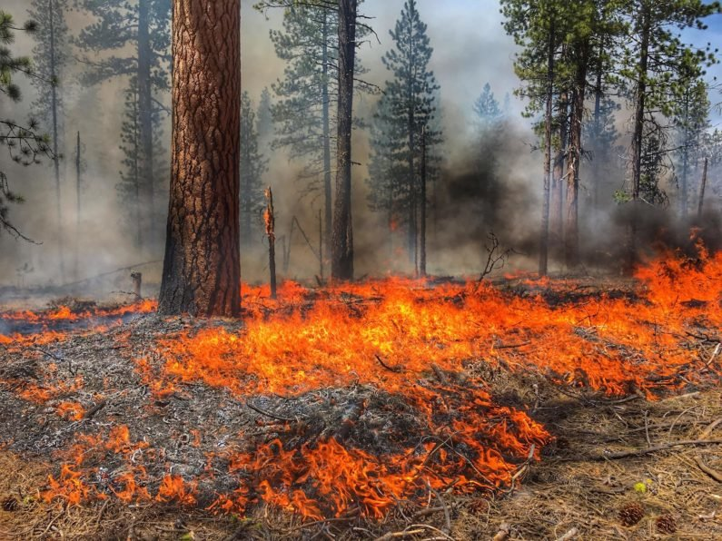 fire in a conifer-dominated forest