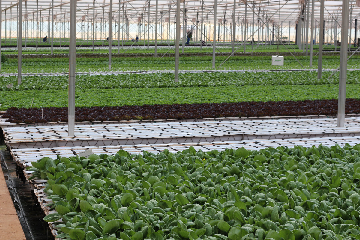 Leafy green vegetables in a growing facility.