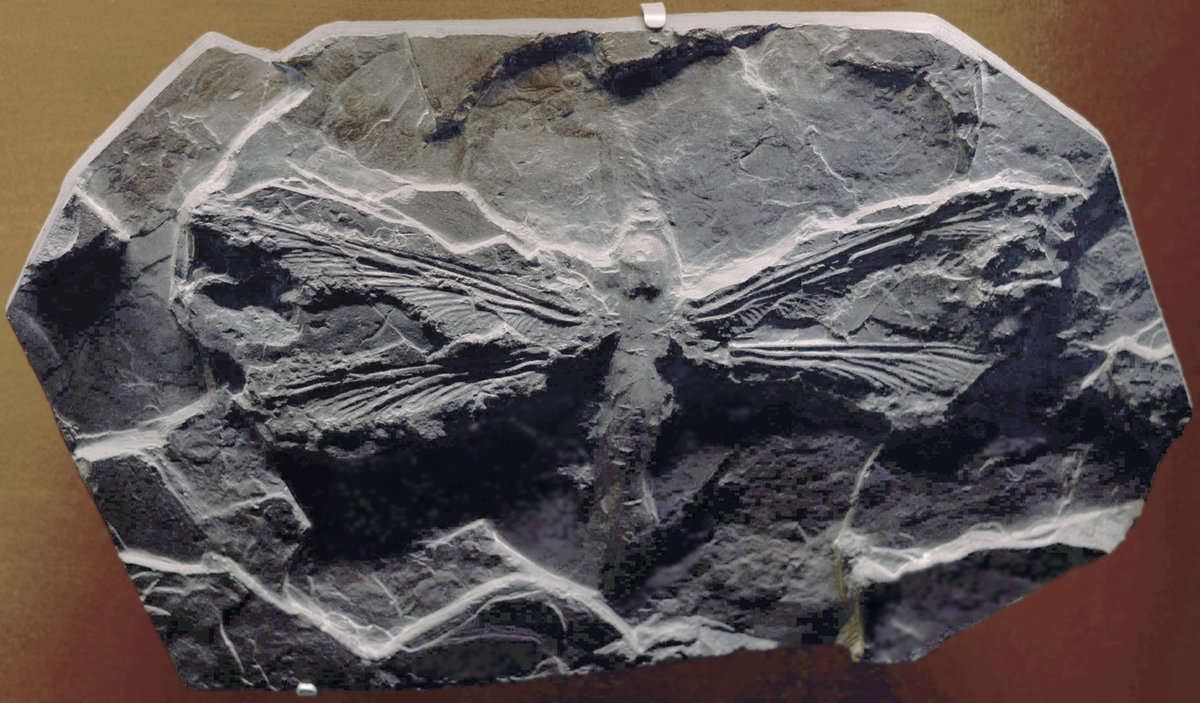ancient dragonfly fossil