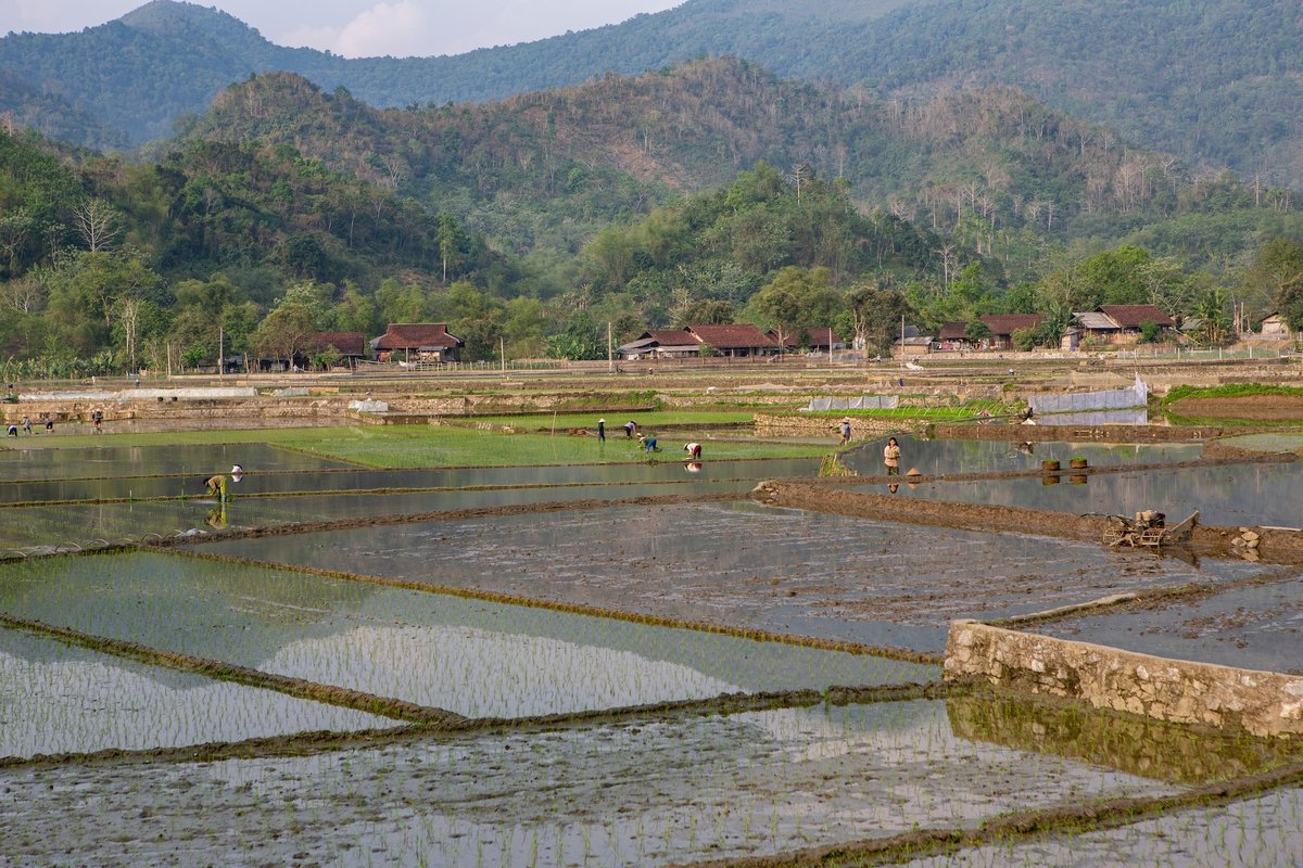 Farmers in rice paddy