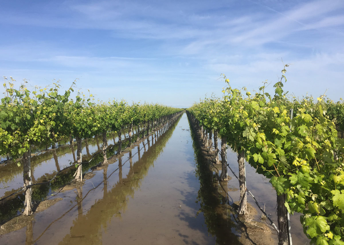 Flooded wine grapes