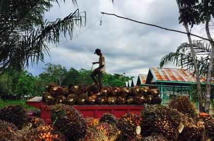 A worker in East Kalimantan, Indonesia, loads palm fruit into a truck for transport to a factory that will process it into palm oil