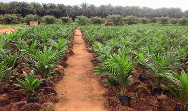 Oil palms at an oil palm nursery and research facility in Cameroon.