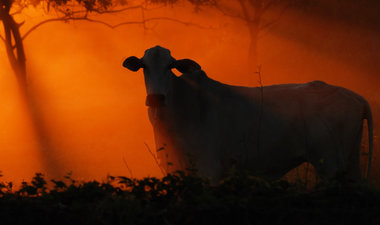 Cattle grazing at sunset in Brazil